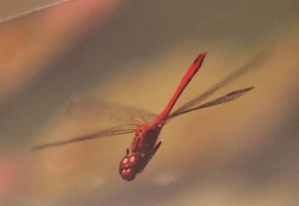 La libellule... en photo