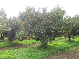 Les orangers dans la brume